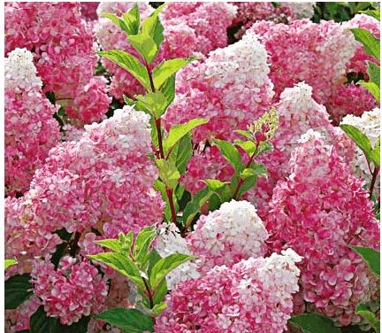 I have never seen these-Strawberry-  Vanilla Hydrangea