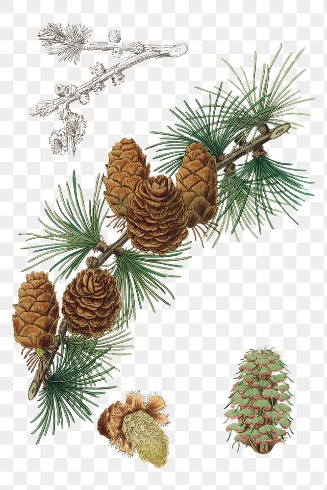 Brown Pine Cone Png Vintage Illustration Free Image By Rawpixel Com Nook White Flower Png Vintage Illustration Watercolor Background