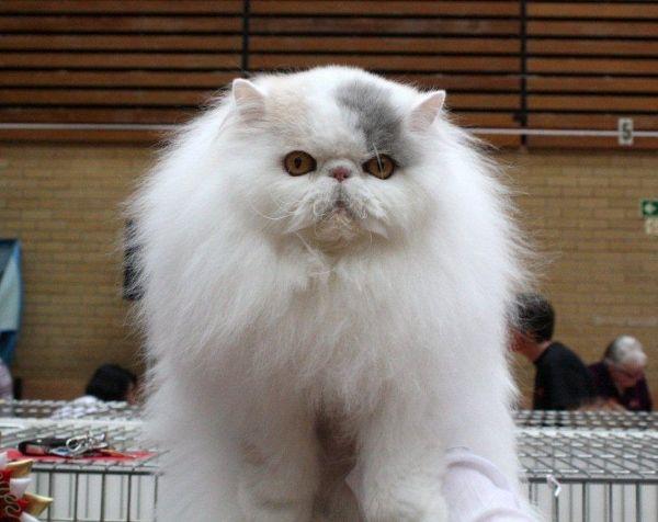 Persian cat breeders england
