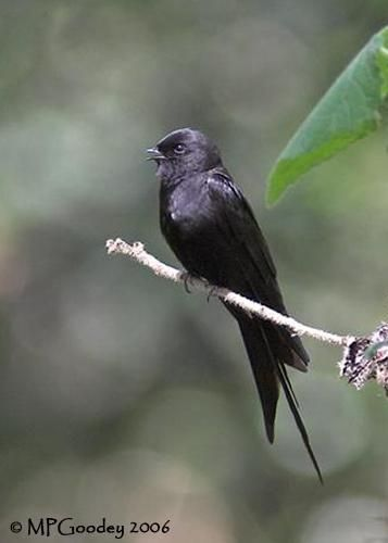 Black Saw-wing (Psalidoprocne pristoptera) videos, photos and sound recordings | the Internet Bird Collection | HBW Alive