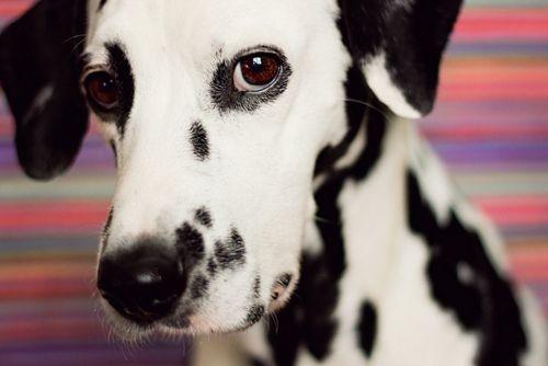 Dalmatian ...