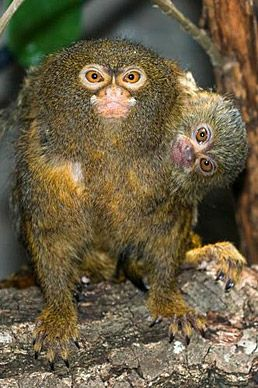 The pygmy marmoset (Cebuella pygmaea) by laurimsu on Flickr. Native to rainforests of the western Amazon Basin in South America.