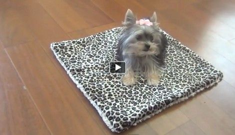 Dogs are intelligent animals that can learn a lot of things during their lifetime. However this adorable Yorkie puppy named 'Misa Minnie' is less than six months old and it looks like it has mastered a lot of things that even older dogs can't master. Watch this Yorkie as it closes doors, rolls over and do some other amazing tricks.