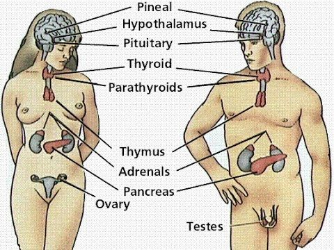 Anatomy and Physiology of Endocrine System - YouTube