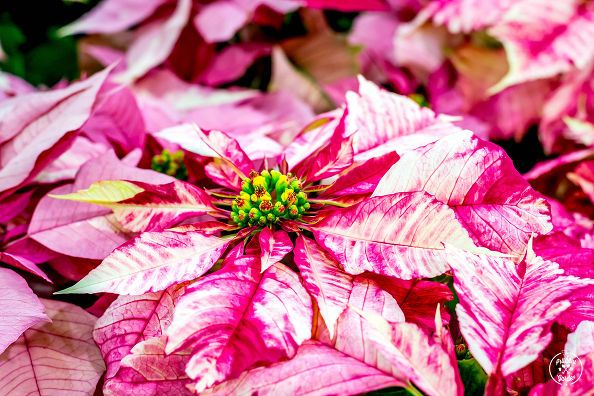 179 best images about plants poinsettia on pinterest the plant after christmas and the christmas. Black Bedroom Furniture Sets. Home Design Ideas