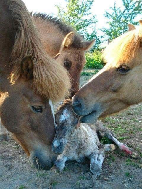 Horses welcoming a newborn foal.