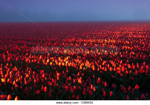 The Netherlands, Eenigenburg, tulip field illuminated by car lights. - Stock Image