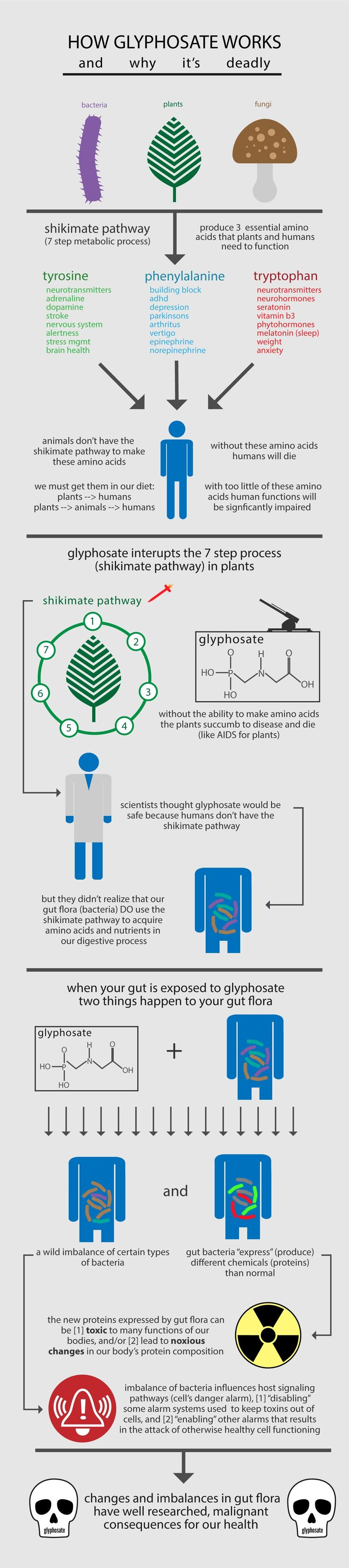 Graphic of how glyphosate works and why it's deadly