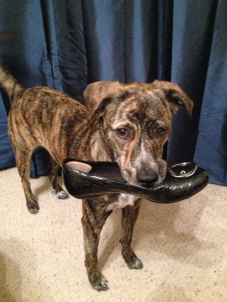 Boxador Lab Brindle loves stealing shoes! | Izzy ...