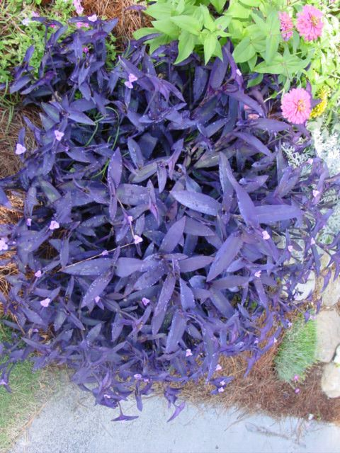 Purple Hearts or Moses in the cradle. I love these plants, easy to grow, striking dark purple foliage and small pink flowers. They can winter outside, great in pots or rockery.