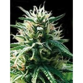 The Sweety Automatic Feminised Seed was born from the legendary Sweet Tooth strain mixed with auto flowering genetics. The strain which it is based on is the Indica which has created a compact plant with a very high yield. Tiny it may be but its yield is pretty incredible, not to mention fast.