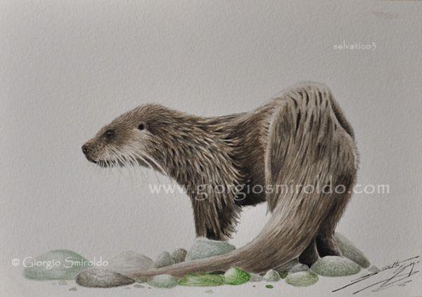 River otter - Lontra di fiume by selvatico3