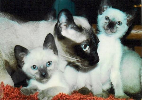 Siamese Cat Breeder Siamese Kittens and Cats for Sale Applehead Cats Snowshoe Cats & Kittens