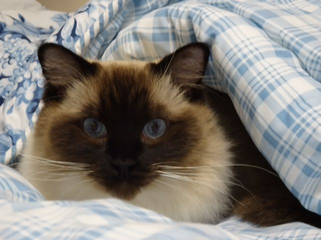 Coby Ragdoll Of The Week Seal Mitted Ragdoll With A Dark Chin