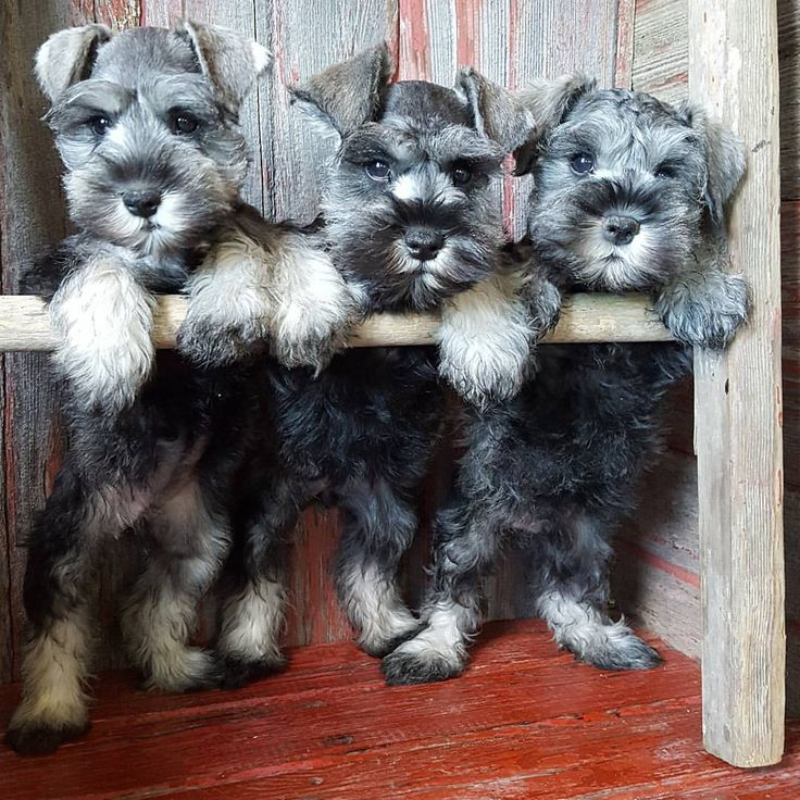 See this Instagram photo by @the_schnauzer_house • 570 likes