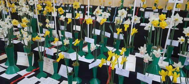 2017 Daffodil Shows and Competitions - Pumpkin Beth