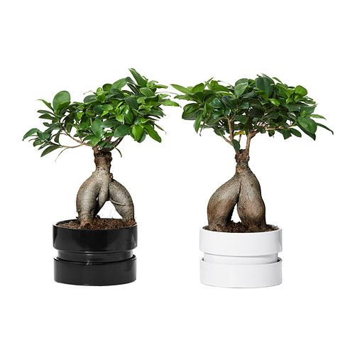 FICUS MICROCARPA GINSENG Plant with pot, bonsai, assorted colors || $14.99