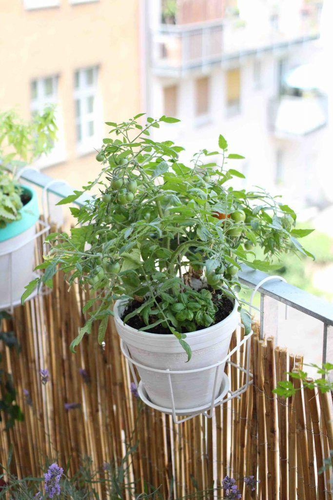 Fragestunde Zu Tomaten Tomaten Garten Garten Und Mehrjahrige Pflanzen