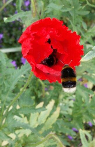 More poppy photos.
