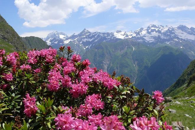 Rhododendron ferrugineum-Alpska ruža | Licitacije - Licitacija