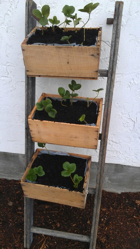 Old ladders and strawberries