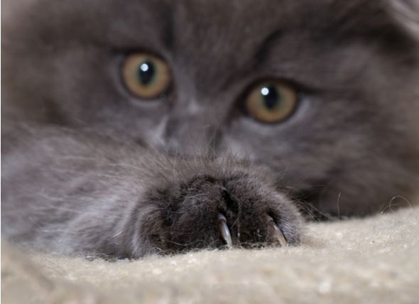 Denver Becomes The Latest U S City To Ban Declawing Cats Http Www Petmd Com News Health Science Denver Becomes La Cat Training Cats Cat Training Scratching