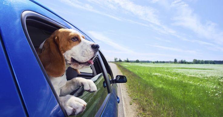 Quanto tempo um cão pode ficar sem urinar?. Os cães podem ficar sem urinar por algumas horas após as refeições. Cães devidamente treinados em uma rotina irão aprender isso rapidamente. Mesmo cães treinados para usar o jornal irão treinar-se para ir apenas quando eles precisam. Porém, urinar também pode ser usado como um sinal de raiva, ansiedade ou doença. Se isso acontece com mais ...