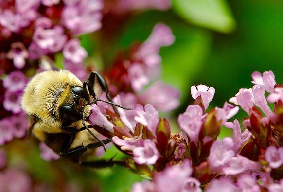 De teloorgang van bijen vormt ook een gevaar voor de genetische evolutie van plantensoorten, blijkt uit Zwitsers onderzoek. Planten die het zonder bijen moeten doen, worden minder grootengeurig.