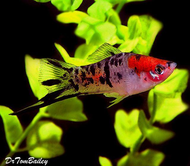 Premium New Rare Showa Koi Swordtail 1 To 1 5 Long Tropical Fish Aquarium Swordtail Fish Aquarium Fish