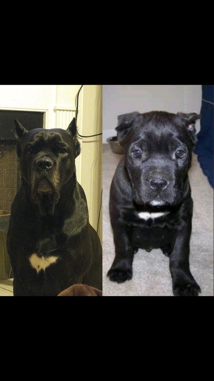 71 best corso images on pinterest dogs doggies and cane corso mastiff find this pin and more on corso by michaelhitt geenschuldenfo Images