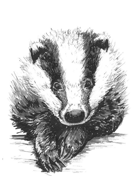 Badger - A6 Postcard Print of Original Ink Animal Drawing on Etsy, $4.82