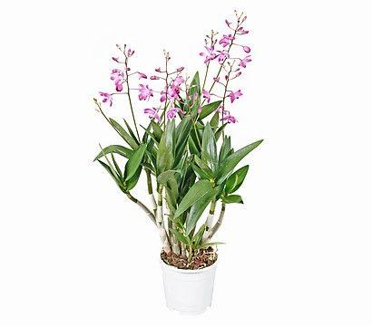 Dendrobium 'Berry'