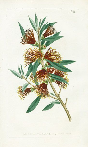 Curtis Botanical Magazine Australian Plants 1787 - see site for nz