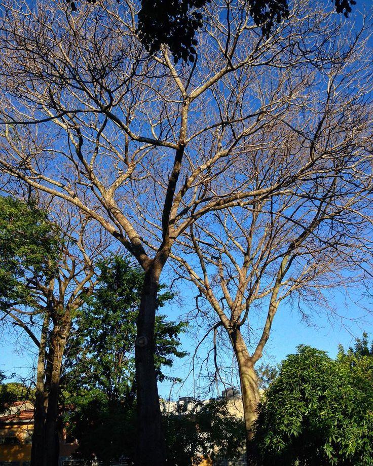 No leaves  . . . . . #treenoleaves #bluesky #brasília #saved #renovation #winter