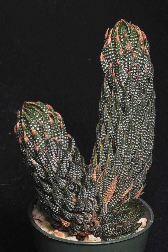 Haworthia reinwardtii var. kaffirdiftensis - Flickr - Photo Sharing!-8-
