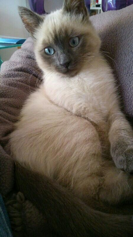 Siamese kitty. Cute cat. Blue eyes. Blue point