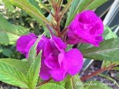 Variedad púrpura de la flor Alegría, Impatiens balsamina