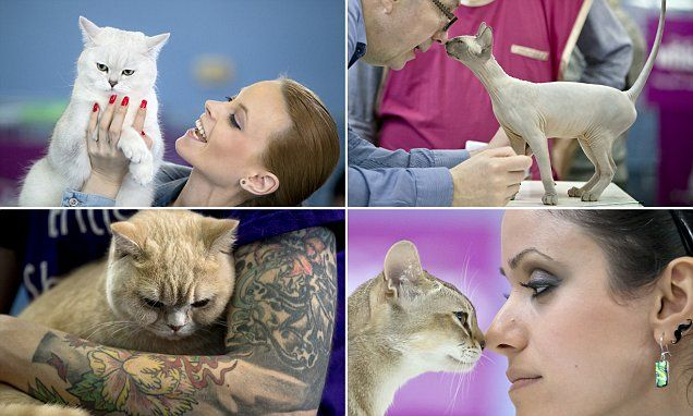 Pedigree cats shown off at annual feline beauty contest in Romania