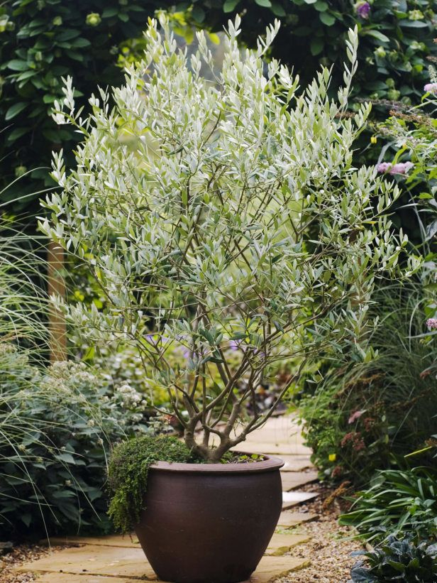 Olive Tree Enjoys Sunny and Warm Spot on Patio   for the WEST facing patio. Best 25  Potted trees ideas on Pinterest   Indoor lemon tree  Grow