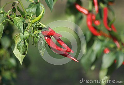 Some red paprikas in a garden