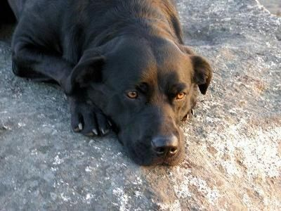 black lab rottweiler mix | This is Taylor my 2 year old black lab/Rottweiler mix on a boulder at ...