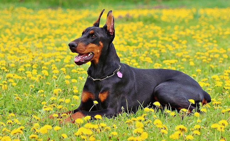 dobermann pinscher by Johan | 10 Anjing Peliharaan Terbaik Di Dunia - satwapedia