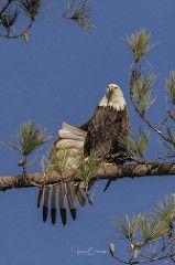 BC Female Bald Eagle 1