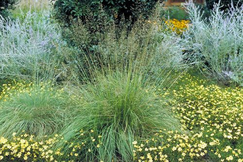 56 best grass images on pinterest fountain grass ornamental grasses and pennisetum setaceum. Black Bedroom Furniture Sets. Home Design Ideas