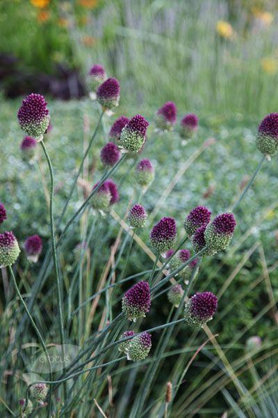 Allium sphaerocephalon, Round-headed Leek Bulbs