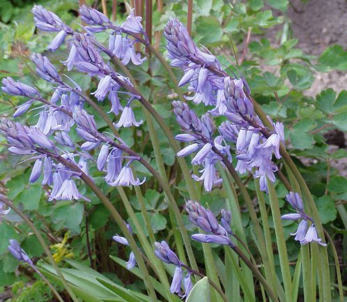 Engelsk klockhyacint, blå, Hyacinthoides non-scripta