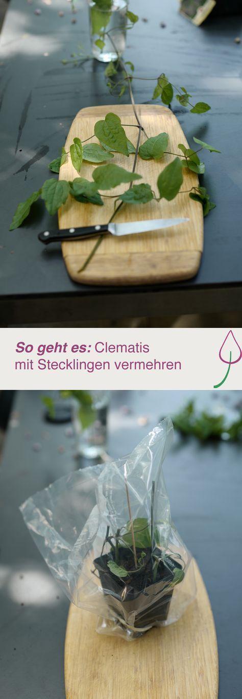 Clematis mit Stecklingen vermehren