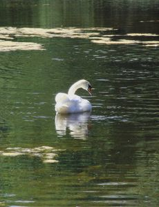 Swan reflextion | If you like this and want it in a printable version, get it from my online gallery at rgbstock.com for free | Camilla Ahrensbøll's gallery: camillahviid