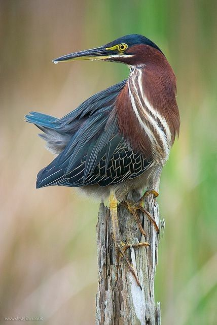 """The green heron (Butorides virescens) is a small heron of North and Central America. Butorides is from Middle English butor """"bittern"""" and Ancient Greek -oides, """"resembling"""", and virescens is Latin for """"greenish"""".  It was long considered conspecific with its sister species the striated heron (Butorides striata), and together they were called """"green-backed heron"""". Birds of the nominate subspecies (no matter which taxonomic arrangement is preferred) are extremely rare vagrants to western…"""