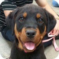 Lovables: West Los Angeles, CA - Rottweiler. Meet Connie a Puppy for Adoption.